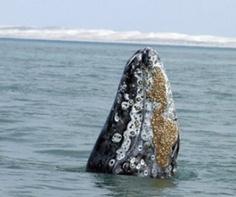 Ballenas jorobadas atraerán un 10% más de visitantes a Samaná esta temporada