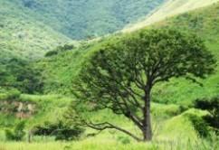 arbol-enezuela