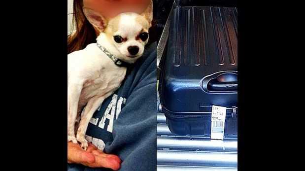 Facebook: perro chihuahua fue hallado en maleta en aeropuerto