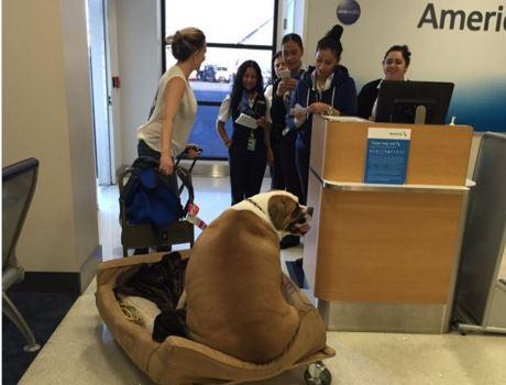 Perro obeso viajó en primera clase de vuelo comercial y alborotó Twitter