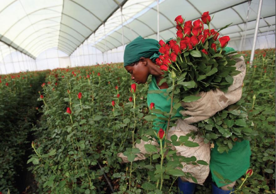 Kenyan Flower Farms Blossom from North American Demand