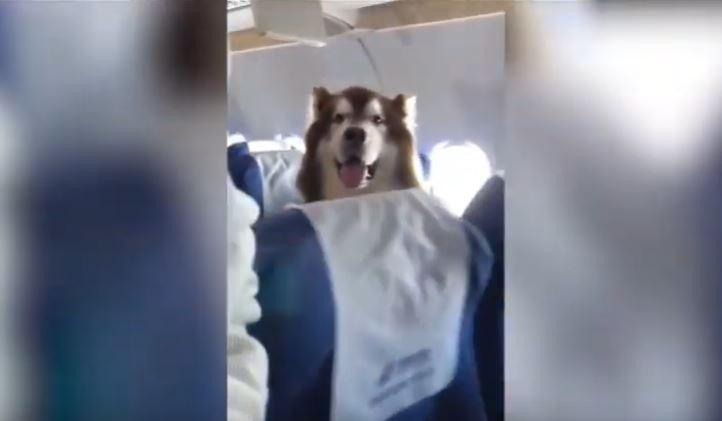 Perro acompaña a su amo durante vuelo y enamora con su calma
