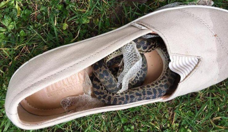 Serpiente causó terror al viajar 14 mil kilómetros en avión en el zapato de una mujer
