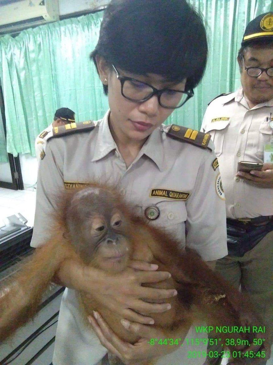 La policía indonesia halla orangután en una maleta en el aeropuerto de Bali